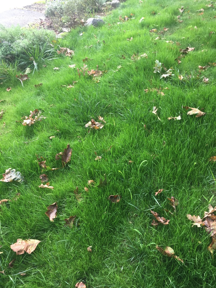 Newly grown grass that has grown long and hasn't been cut yet.