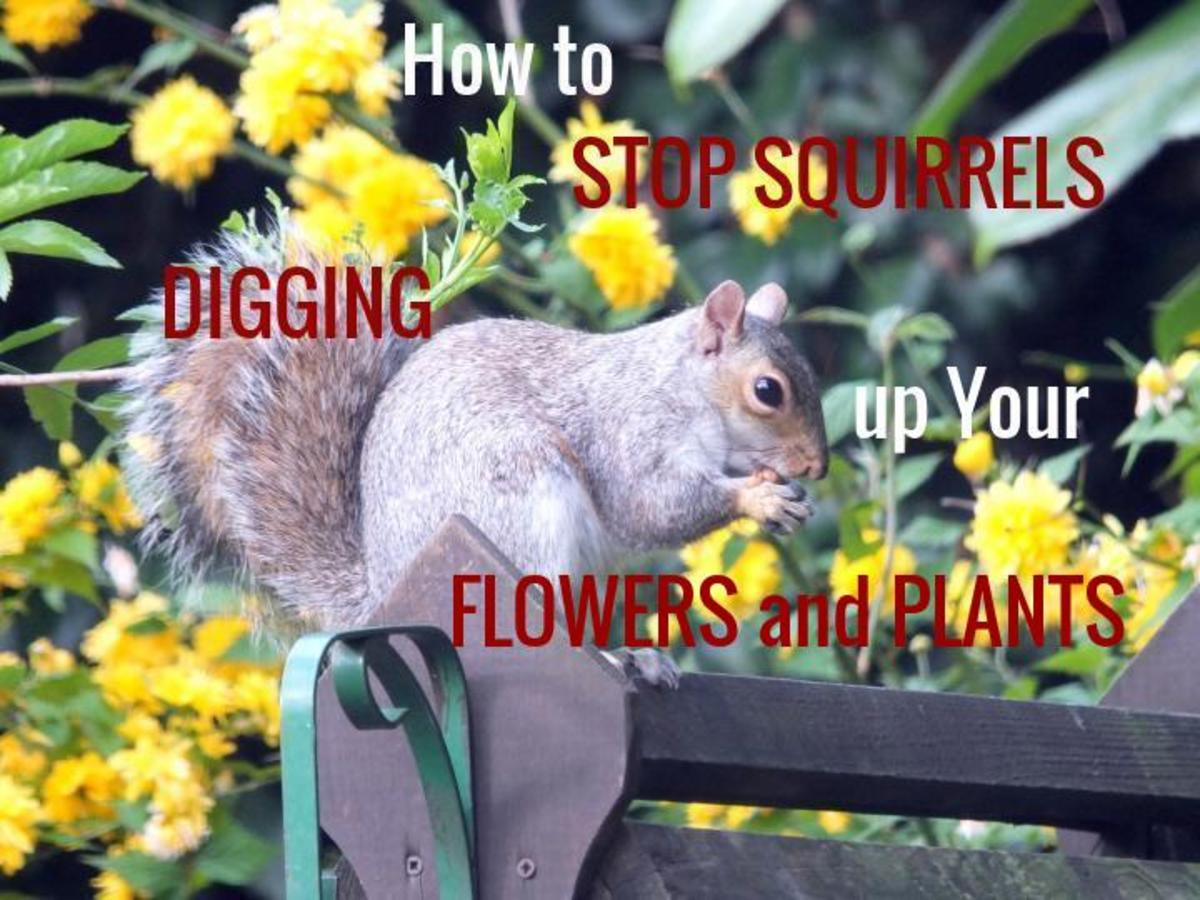 How to stop Squirrels digging up plants