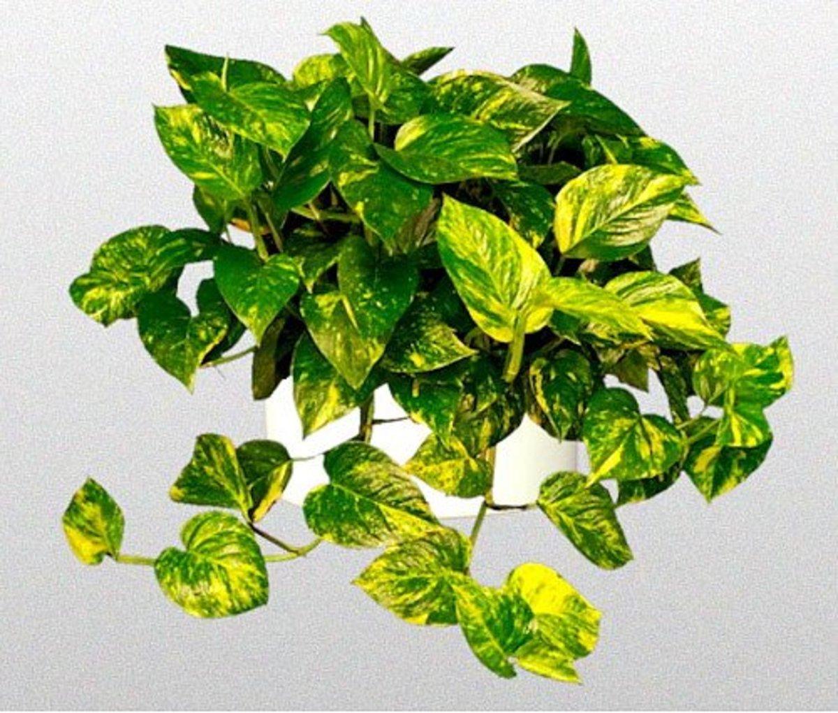 Money Plant Photo