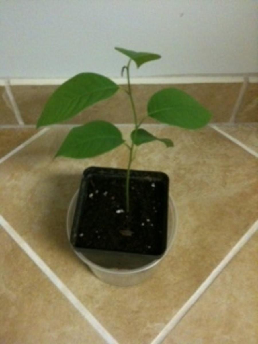 Custard Apple Tree Seedling - Nov 2012