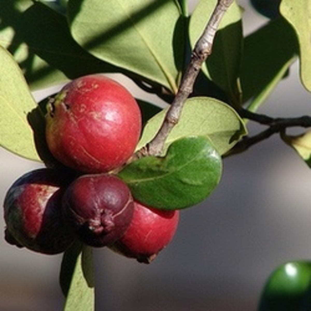 strawberry-guava