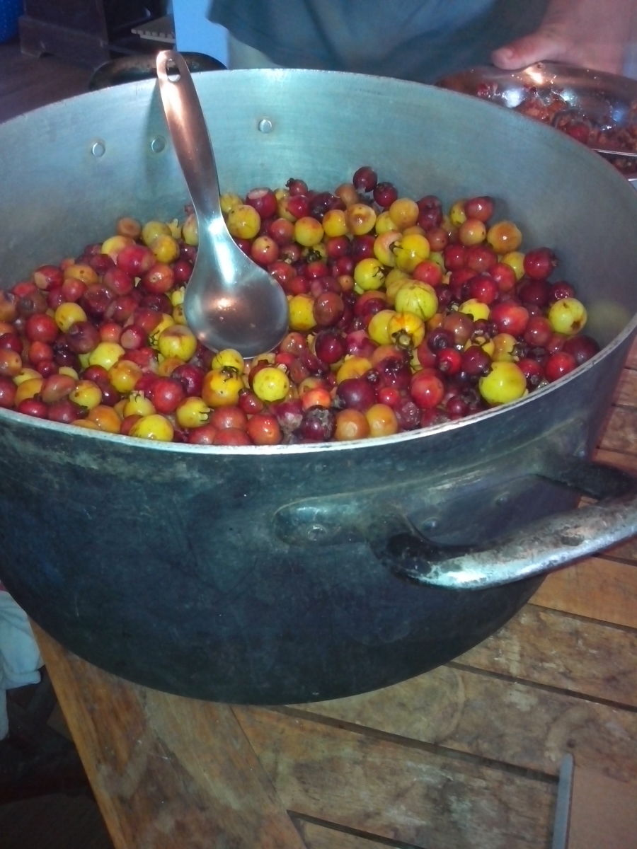 We harvested a LOT of strawberry guavas this year. You can't tell, but that pot is the size of a large suitcase!
