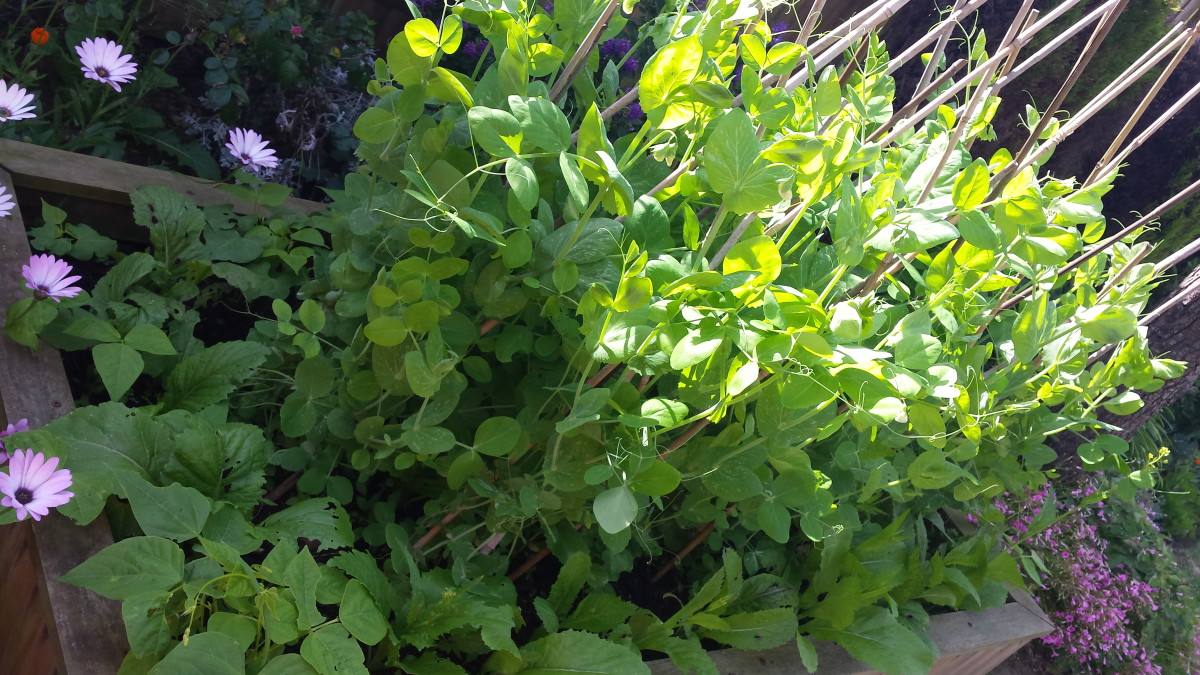Competing to grow with the mustard greens