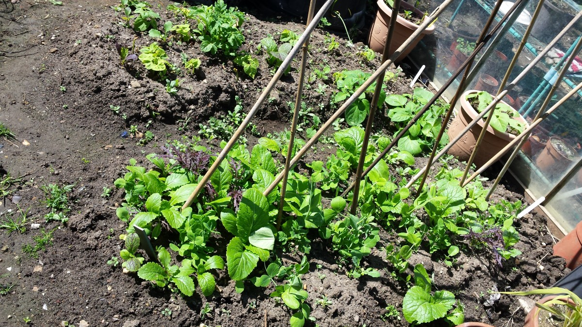 Growing peas directly to the soil with some mustard greens