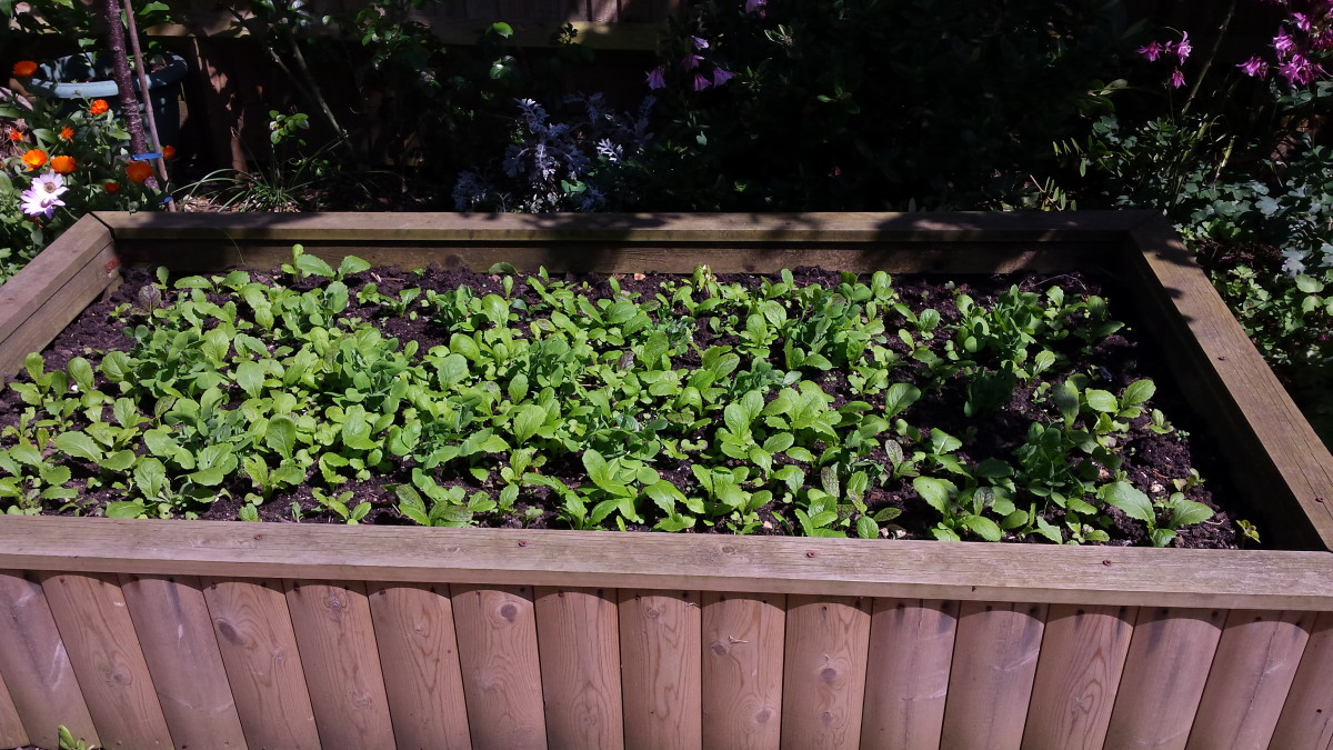 Peas growing on a raised bed with mustard greens