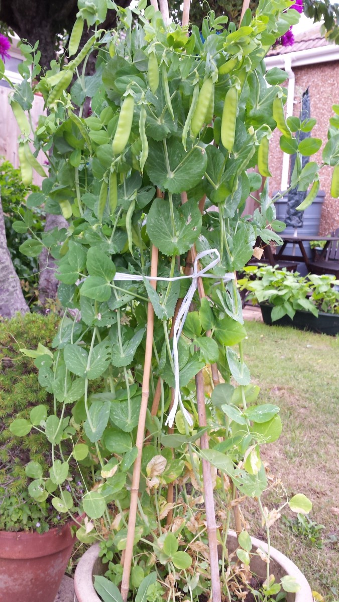 Peas with it fruits on the container