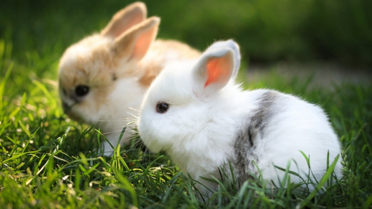 Indian Rabbits in Grass.