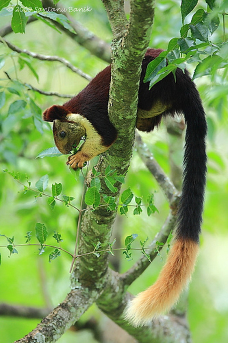 Malabar Squirrel Indian Giant Squirre