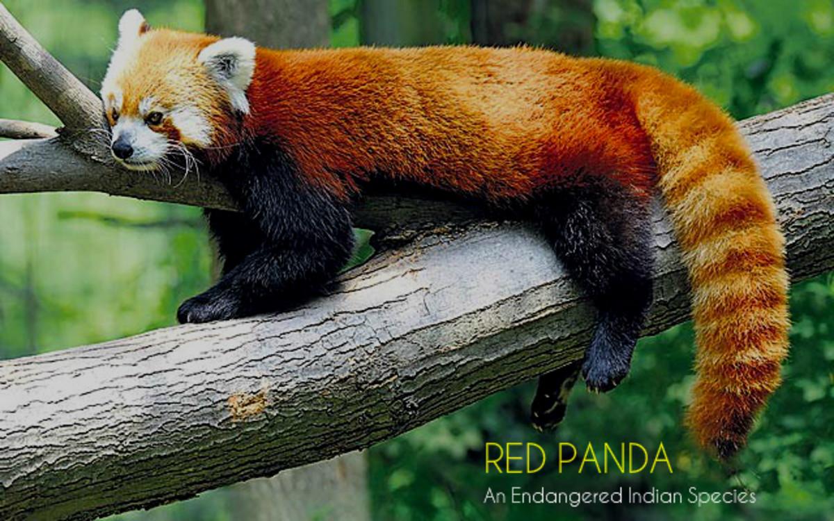 INDIAN RED PANDA
