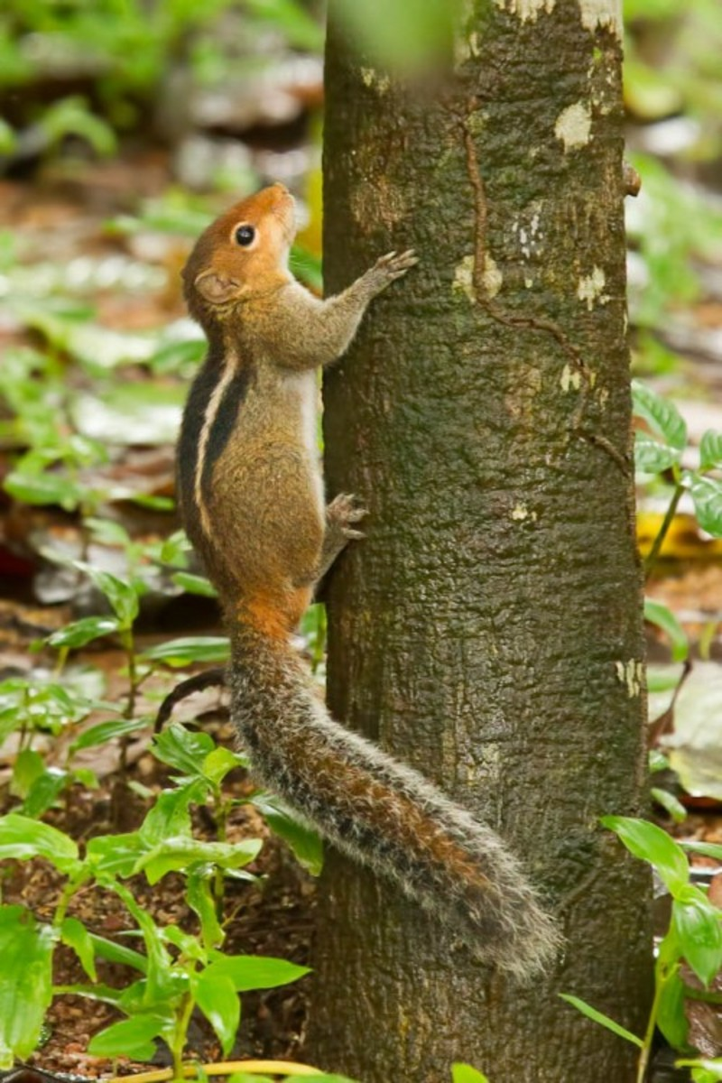 Indian Three-Striped Palm Squirrel
