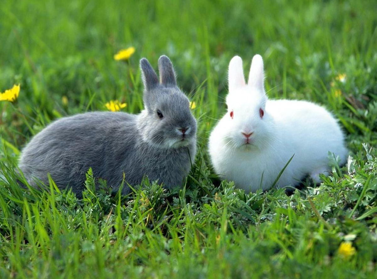 White and Grey Rabbits