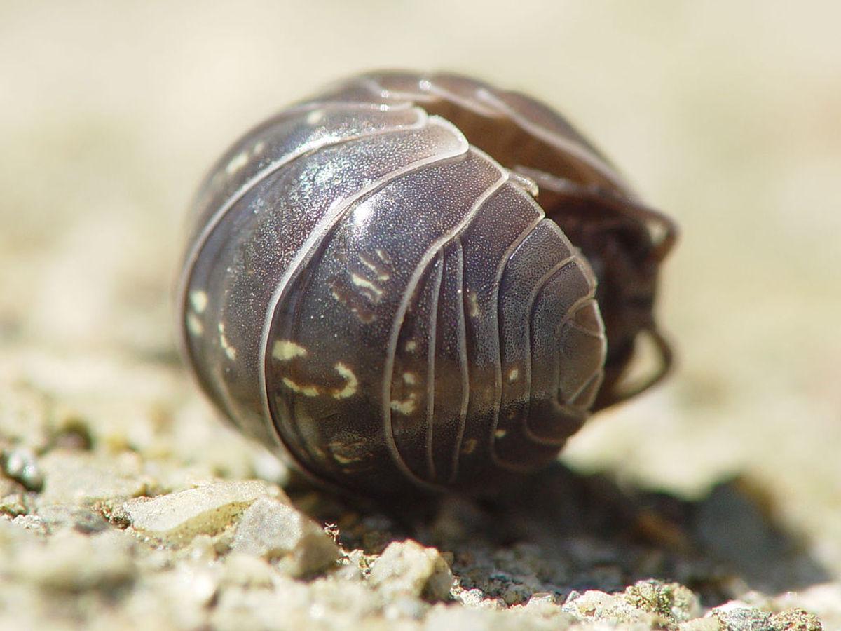 Pill bug (Armadillidium vulgare) rolled into a ball