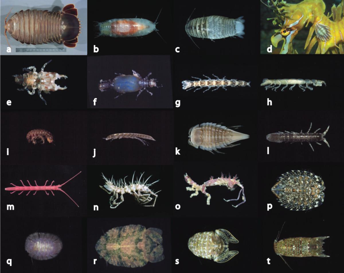 a, Bathynomus sp. b, Natotolana woodjonesi. c, Cirolana sp. Aegidae: d, Creniola laticauda on sea dragon. Gnathiidae: e, f, Elaphognathia ferox (male and female). Anthuridae: g, Mesanthura astelia. Paranthuridae: h, Paranthura sp. Limnoriiidae: i, Li