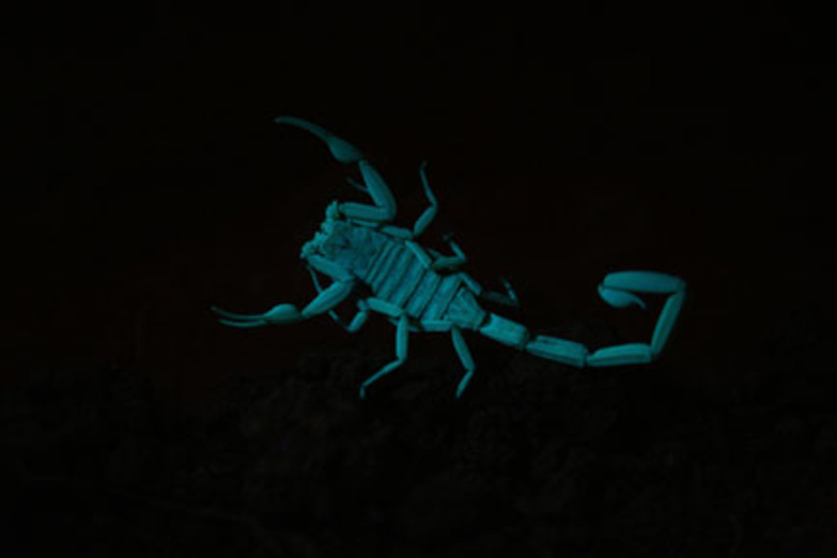 Arizona bark scorpion (Centruroides sculpturatus) glowing under ultraviolet light.