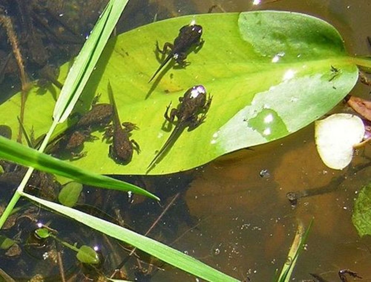 Froglets in the Frog Pond