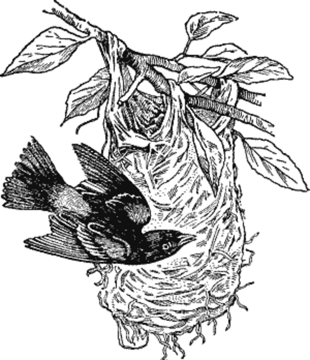 Baltlmore Oriole Nest