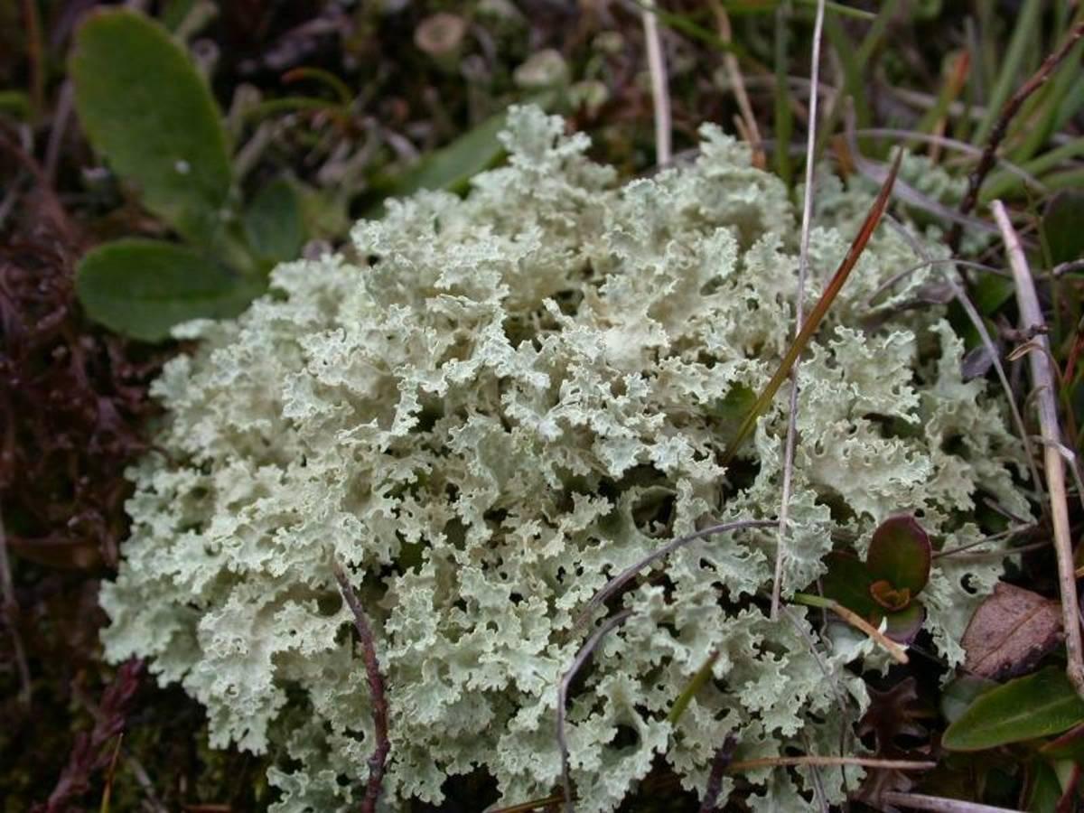 Lichen Islandicus