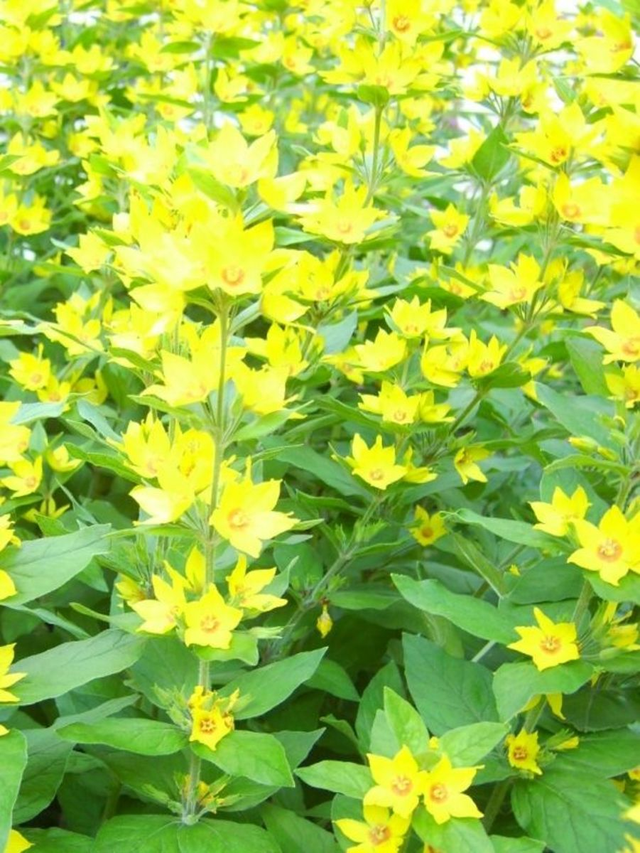 yellow star shaped flowers