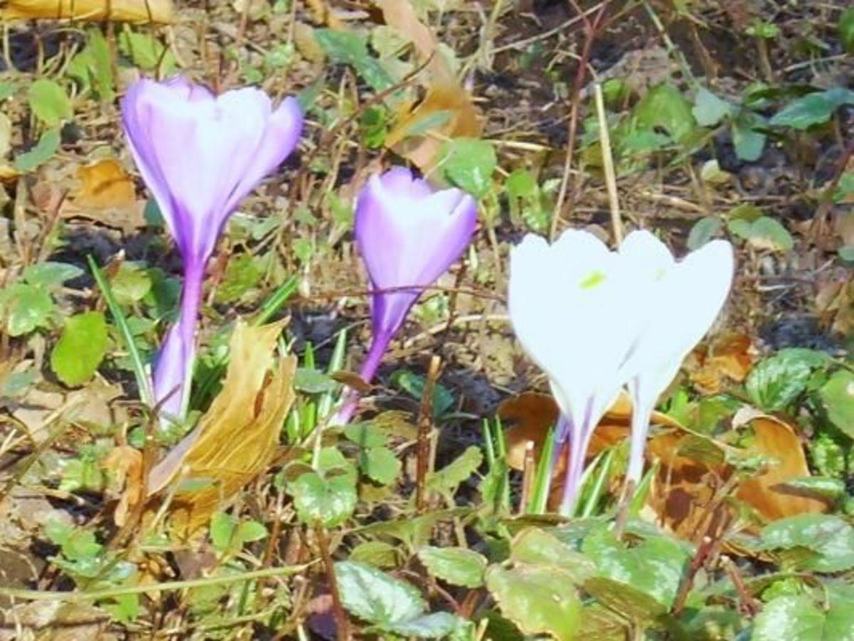 3/31/12 White & lavender crocus
