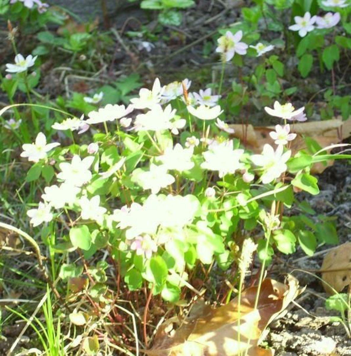 3/25/12 White wildflowers