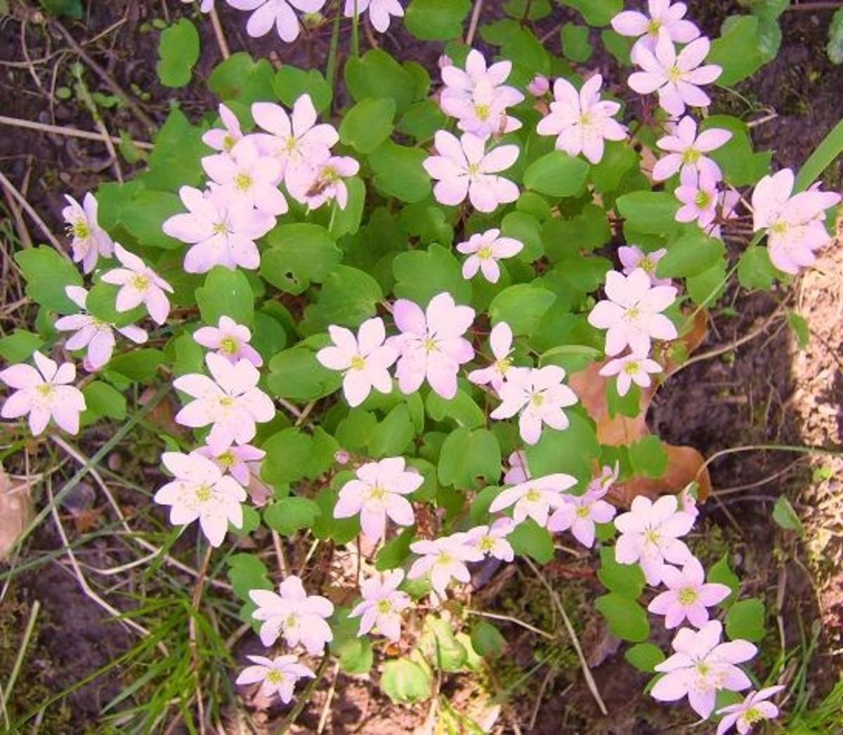 3/31/12 Pink wildflowers