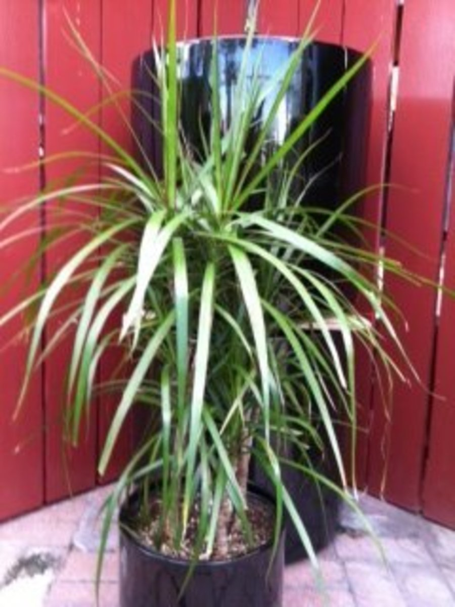 Caring For Dracaena Marginata; Dragon Tree