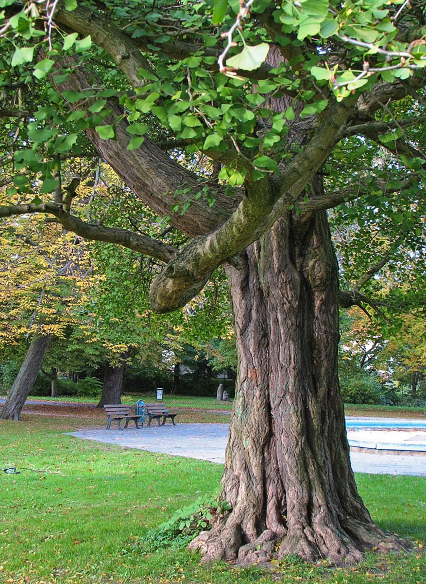 The Ginkgo Biloba Tree