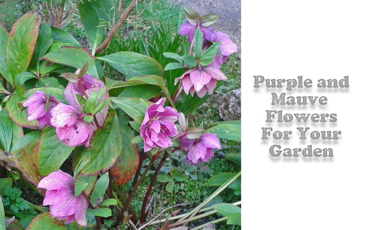 Purple Flowers and Mauve Flowers For Your Garden