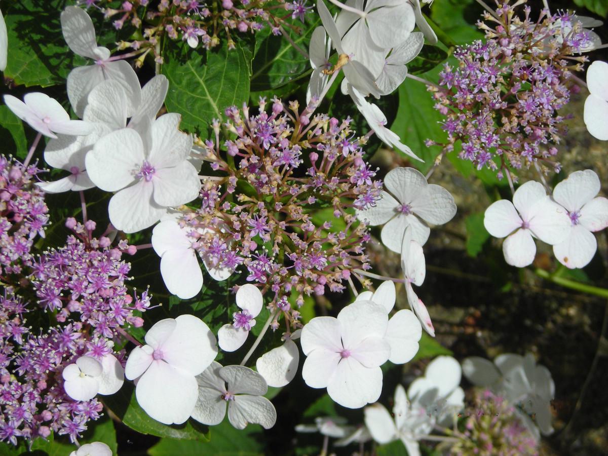 White and Purple Hydrangea