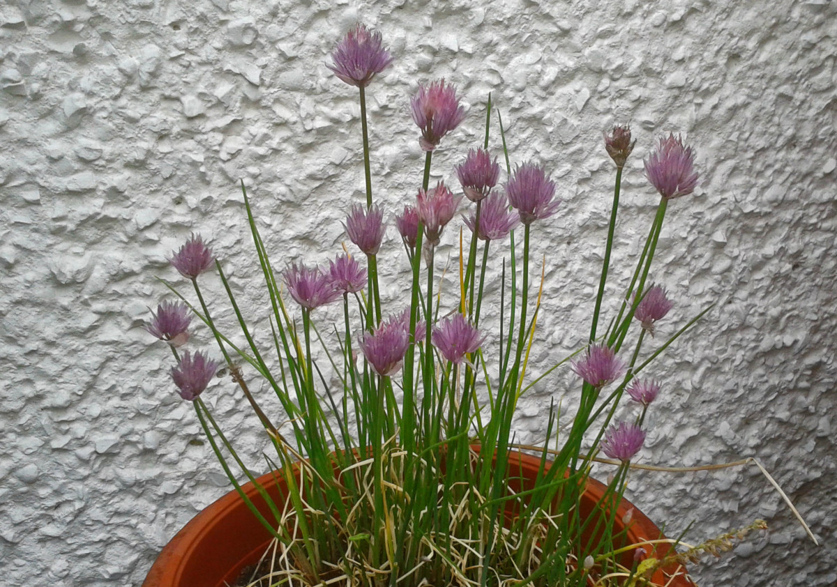 Chives With Mauve Flowers