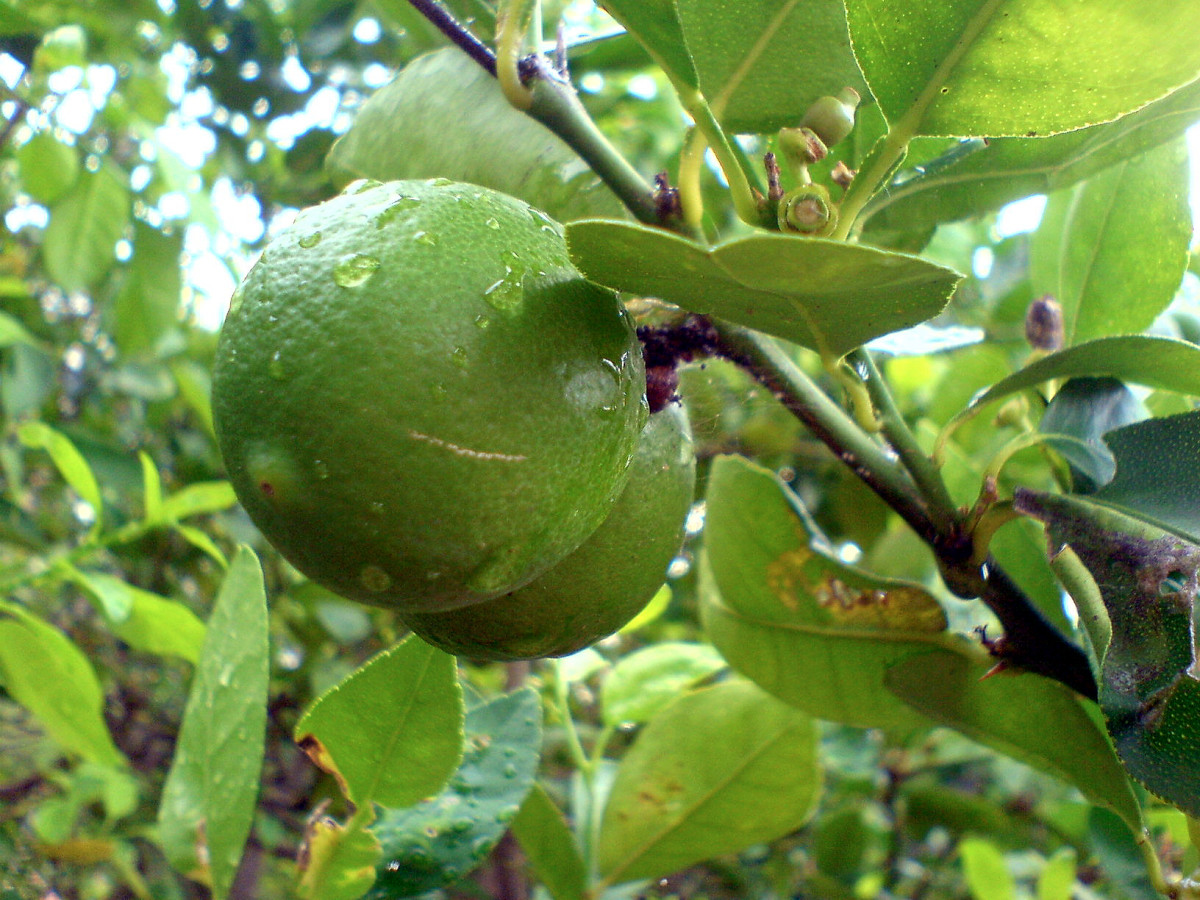 Many resorts in Costa Rica have lime tree groves to supply the bars and restaurants.
