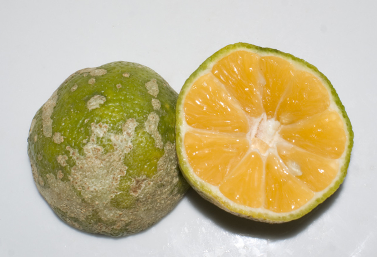 The Mandarin lime.  It isn't much to look at on the outside, but its subtle flavors are what makes many dishes have a distinctive flavor in Costa Rica.