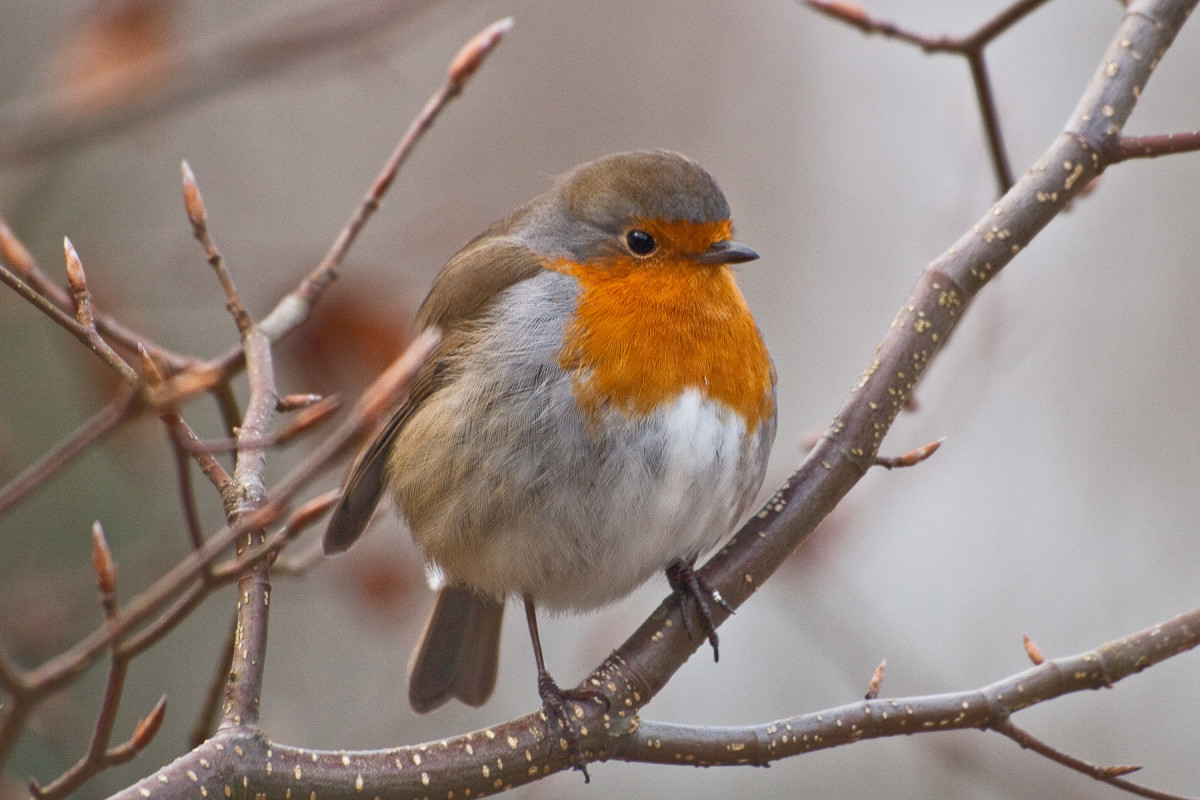 The English Robin that Stays all Winter