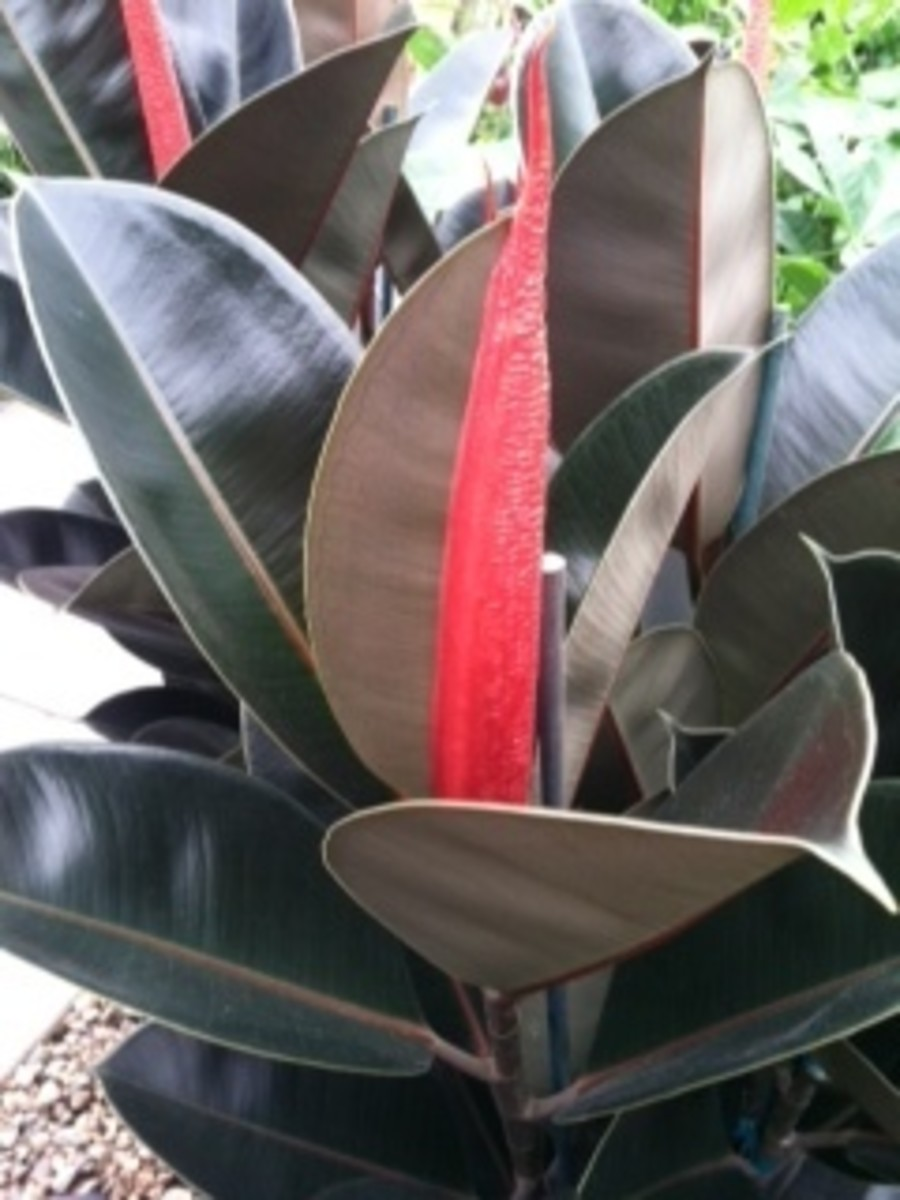 caring-for-ficus-elastica-rubber-tree