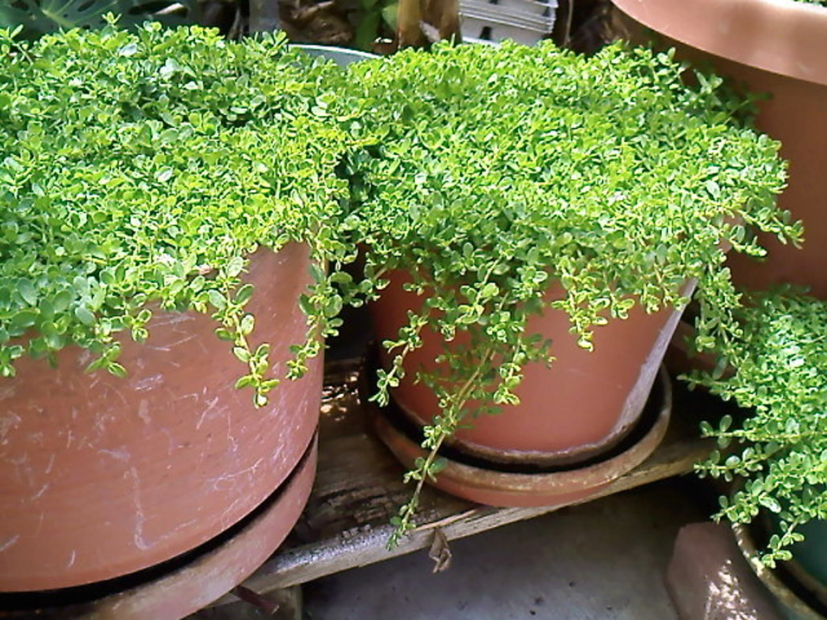 Bacopa monniere in pots. My uncle's backyard garden.
