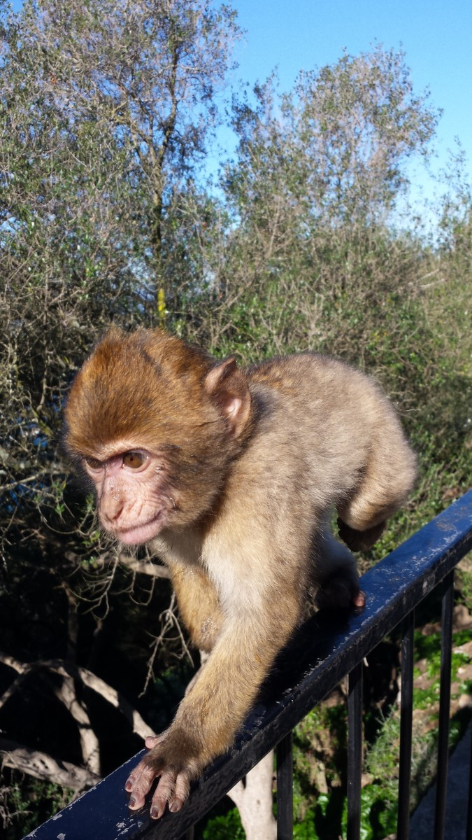 Macaque monkey, the only free roaming monkeys in Europe