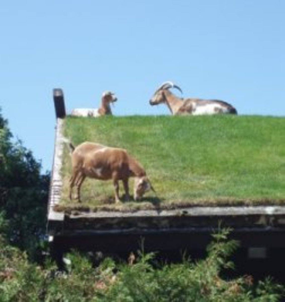 Door county Goats on a Green Grassy Roof Top