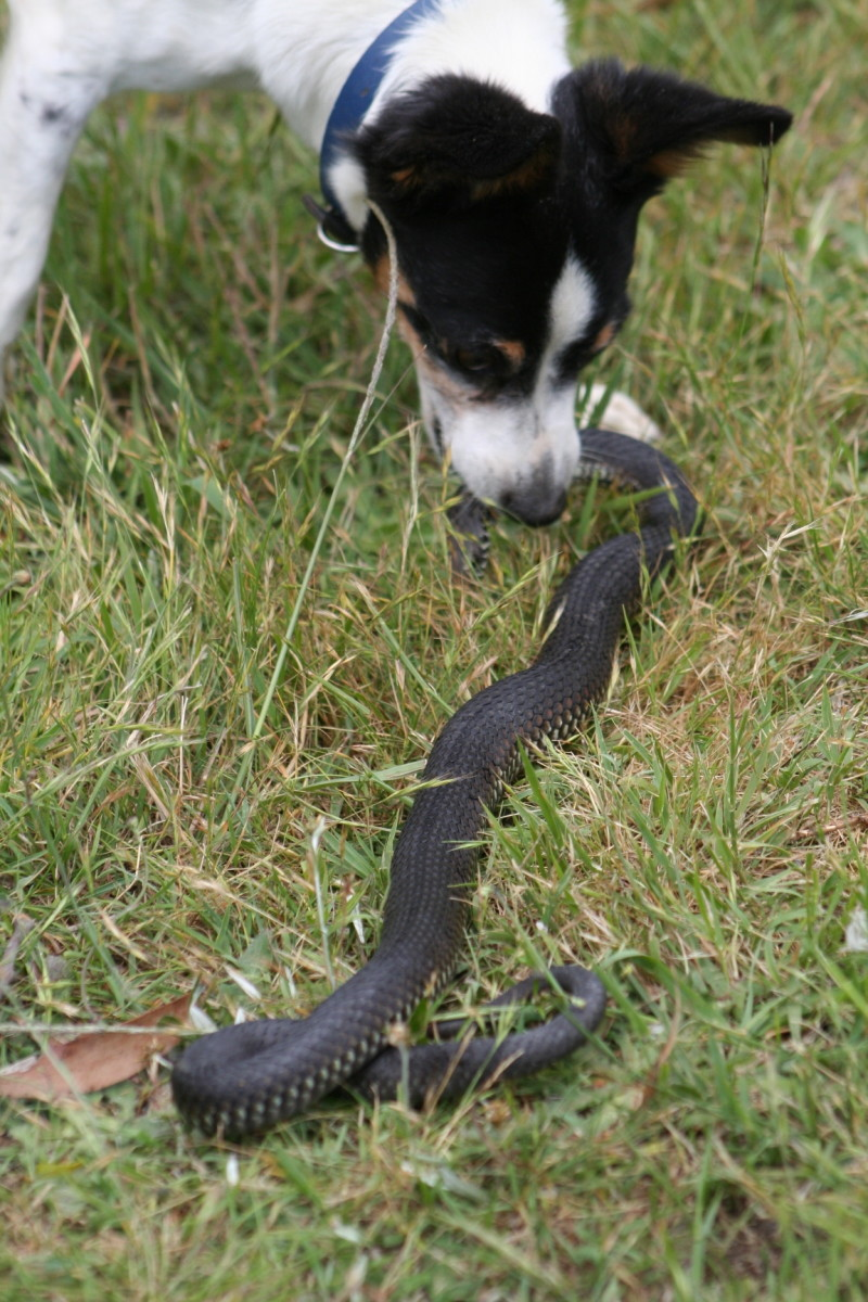 The venemous snake my dog killed today. He is biting behind the head of the snake.