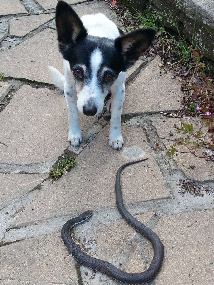My old dog still kills snakes in my house and yard. This was the first one for this season,