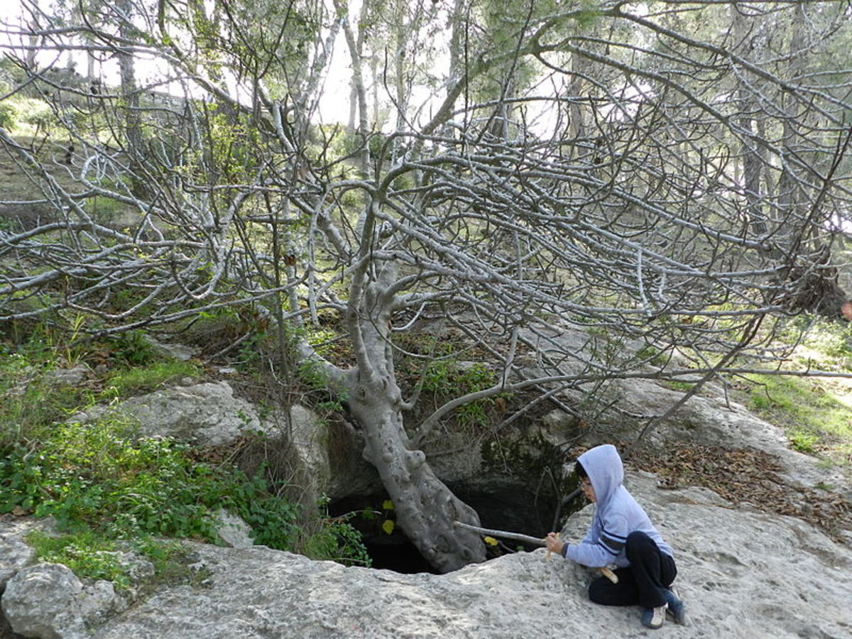Photo of Fig Tree in Winter Growing from a Cave Entrance in the Jerusalem Forest