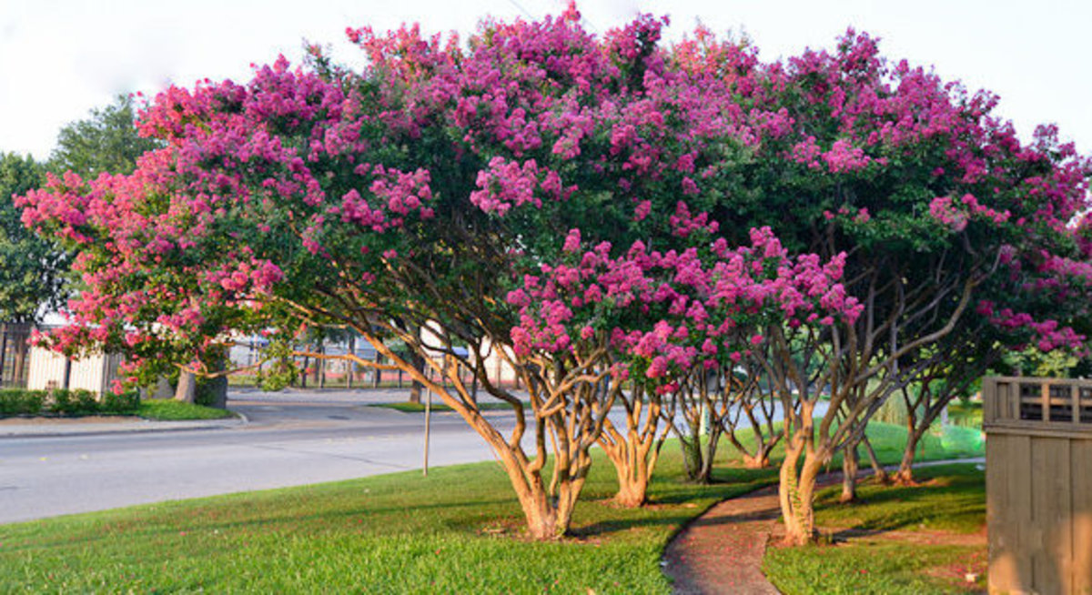 Pink Crape (Crepe) Myrtle Trees