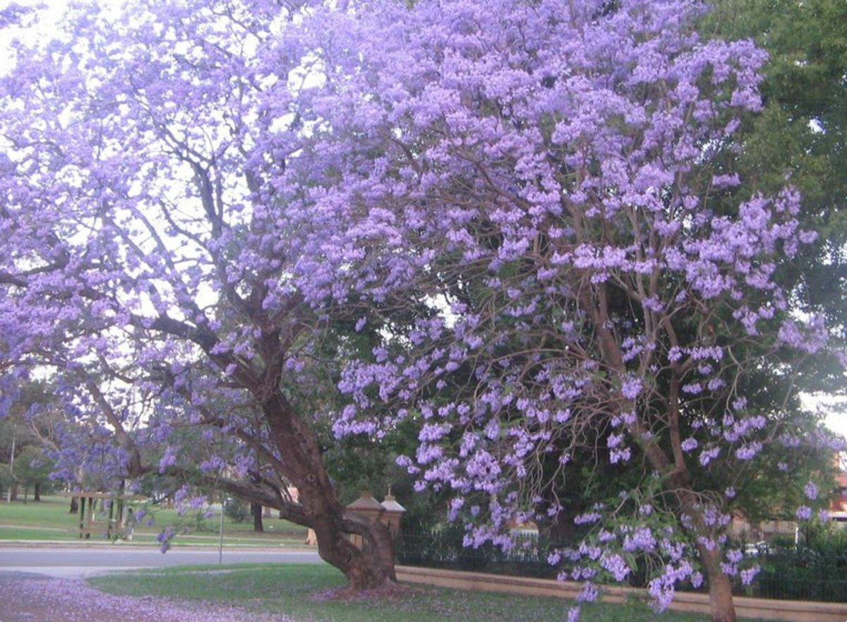 Photo of Purple Jacaranda Tree
