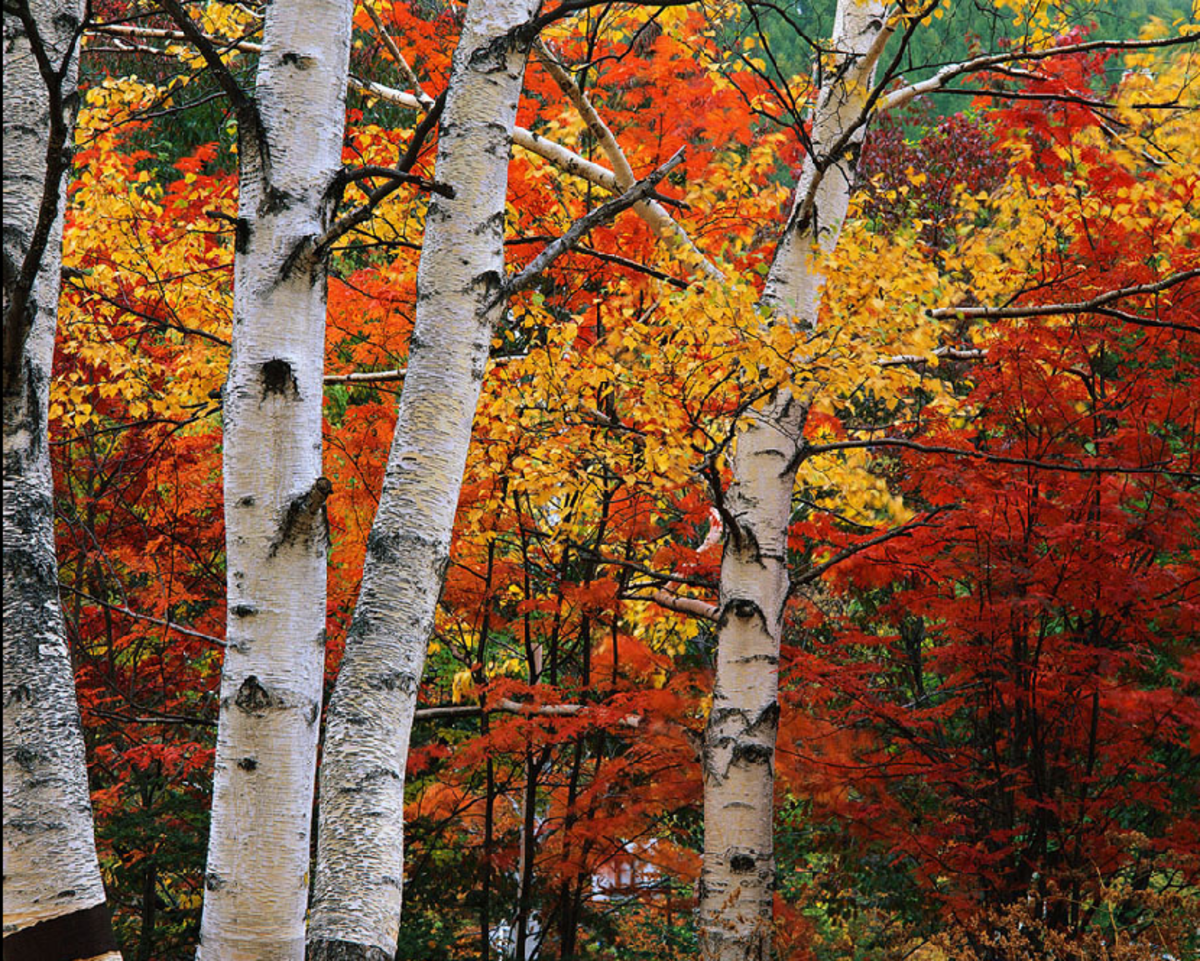 Aspen Tree Images from Aspen, Colorado, U.S.