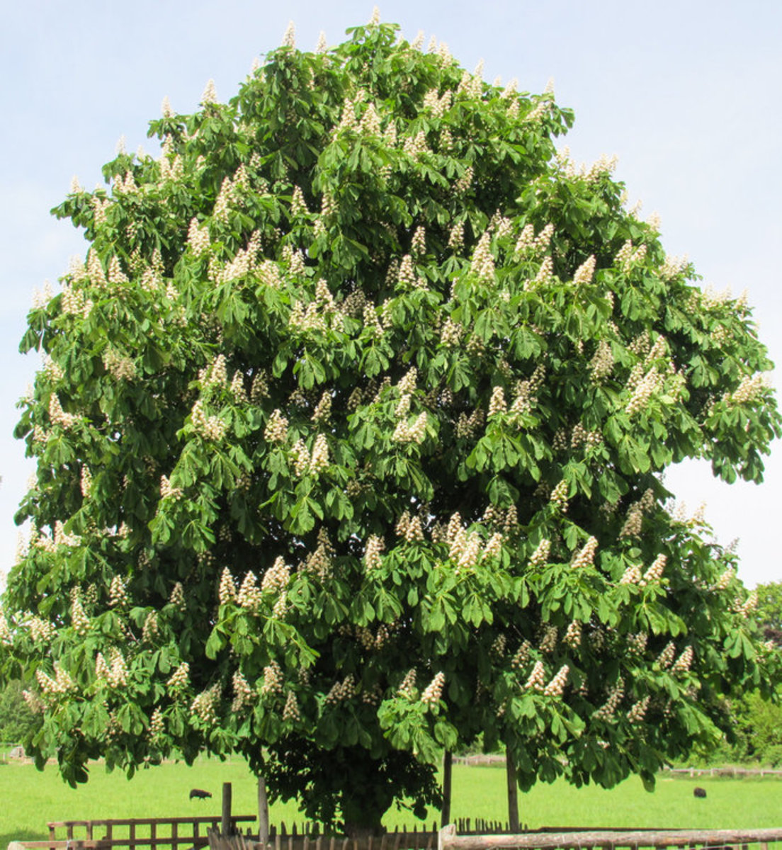 Chestnut Tree in Springtime