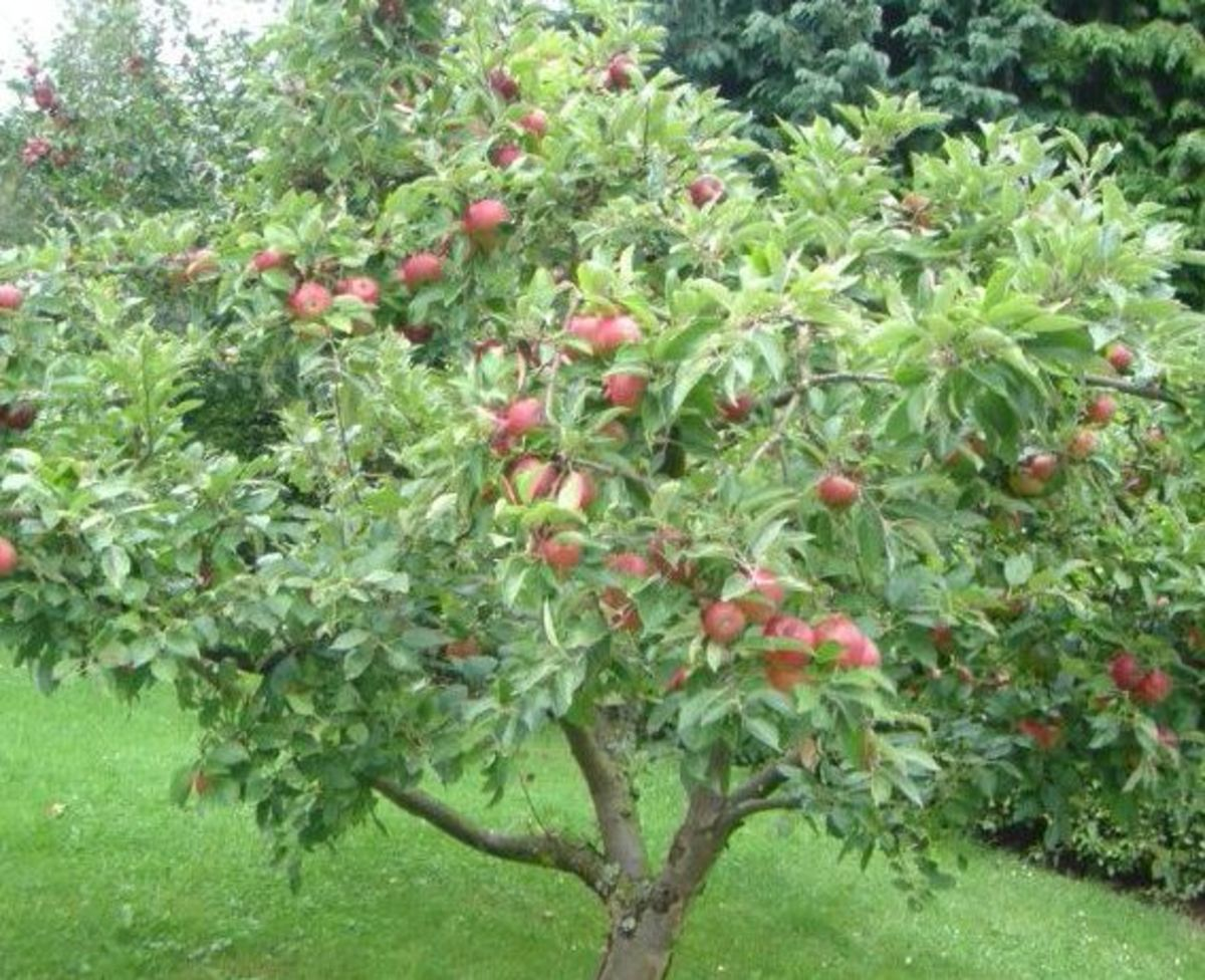 Apple Tree Picture with Ripe Apples in Autumn