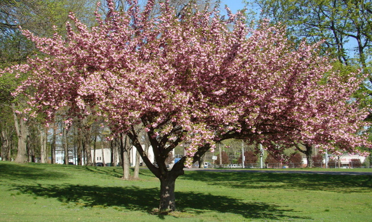Pink Flowering Dogwood Tree in Thompson Park, Jamesburg, New Jersey, U.S.