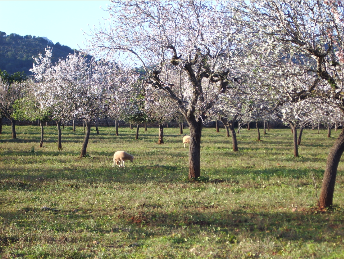 Flowering Almond Tree Orchard in Spring
