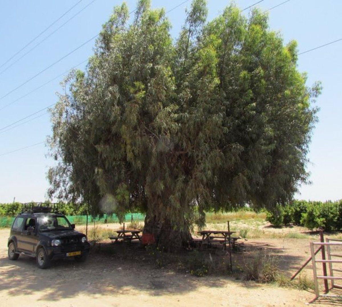 Eucalyptus Tree in Pardes-Hanna, Israel