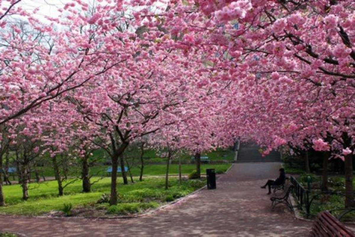 Cherry Trees Lining a Park Trail
