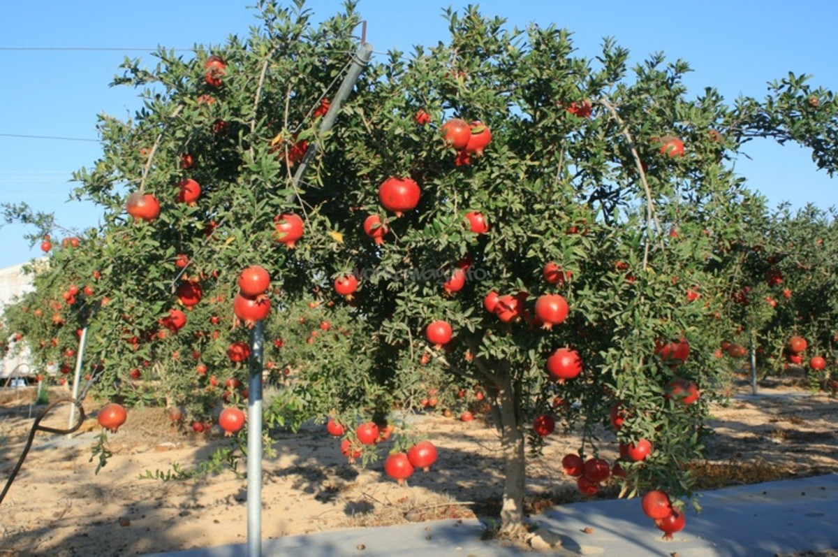Pomegranate Trees in Israel